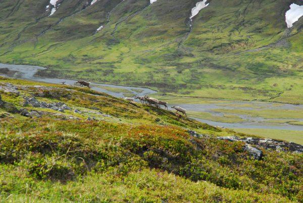Reindeer, Guohpperwegge in Sarek National Park, Sweden
